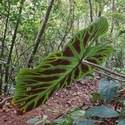 ANTHURIUM LEAVES, Rancho Naturalista
